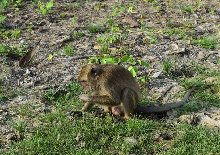 Monkey on Rinca Island